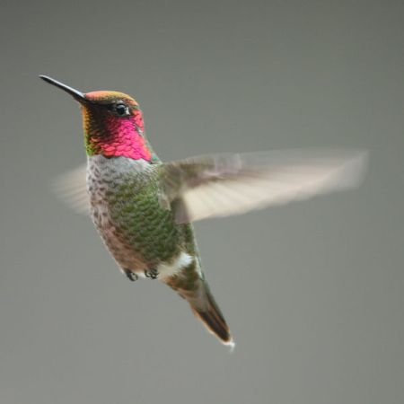 Fastest Wings, Fastest Brains. Anna Hummingbird California