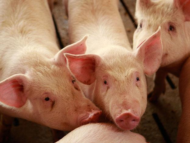 As USA Hogs Get Antibiotics Daily, Human Babies Ought To Get Less?