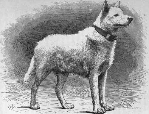 It Took Many Thousands Years To Breed Such Large Dogs From European Wolves