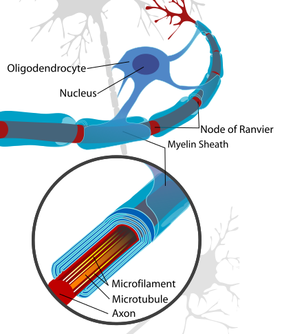 Stars Inside. By Varying Myelin, Oligodendrocytes Act As Meta Controllers (2014)