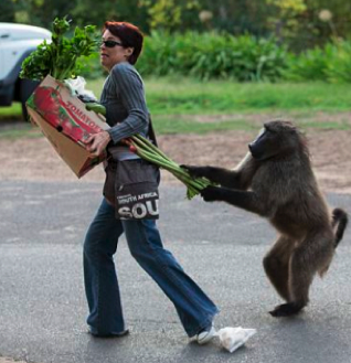 Baboons Are Resourceful