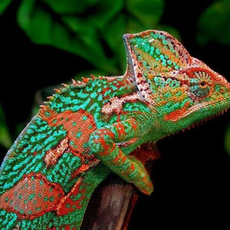 Chameleons Are Not Stoic, They Anticipate The World