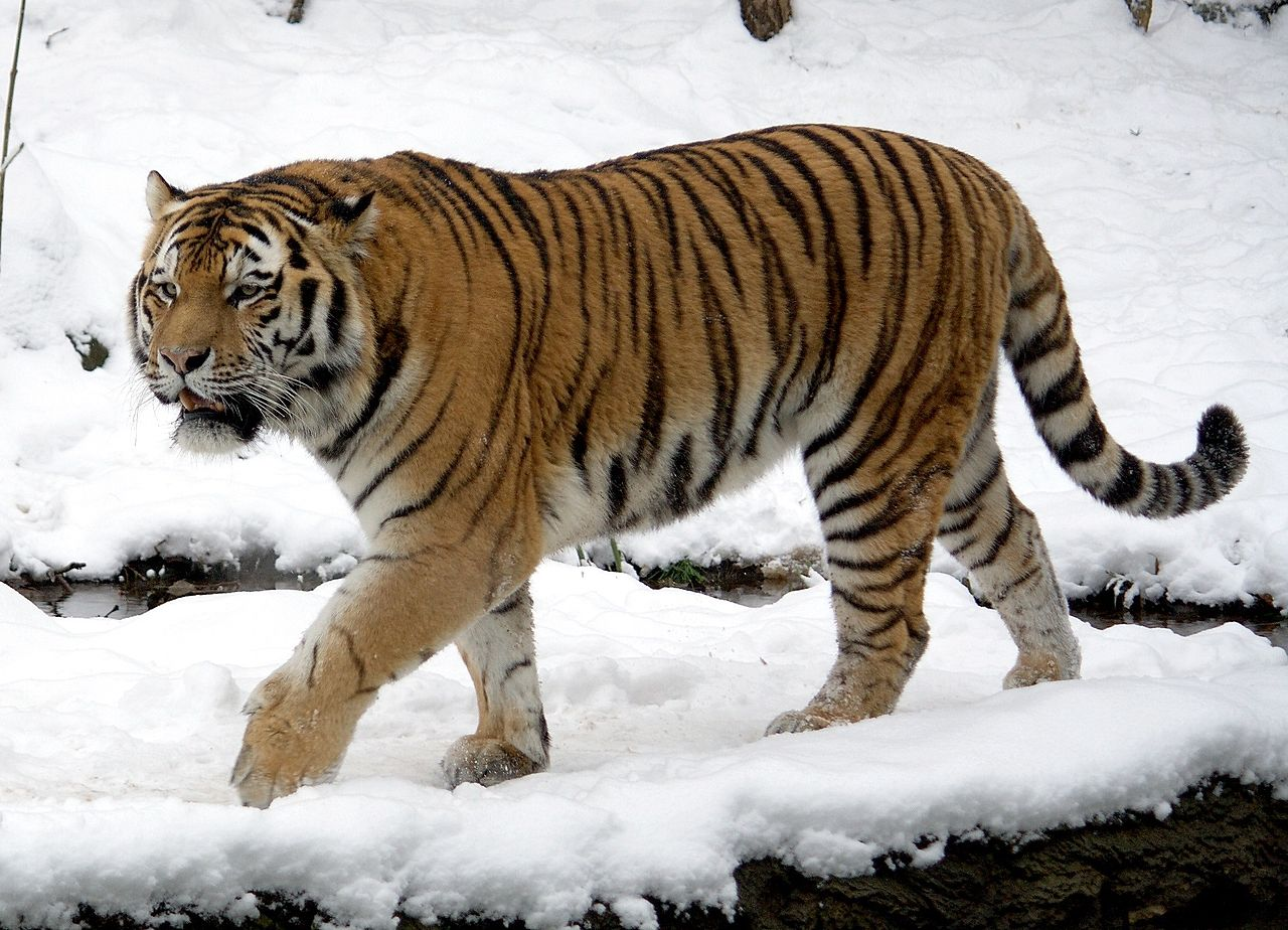 Tigers & Plutocrats Have A Sense Of Right Which Makes Them Even Worse