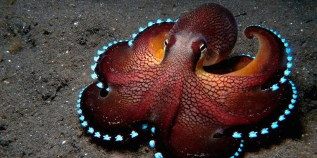 Cephalopods Are Highly Intelligent, But They Have No Cultural Intelligence., Thus Stay Mental Miniatures