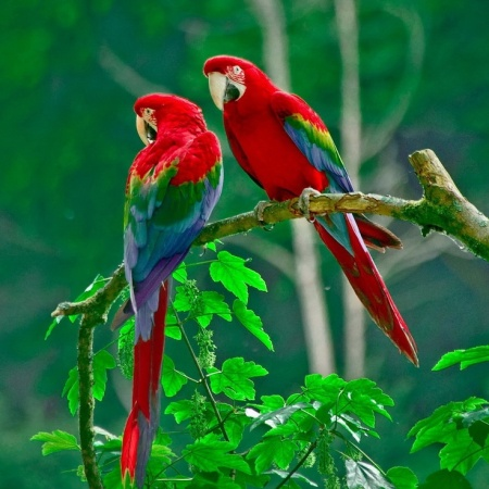 Love Is Strong With Parrots. Grab One, The Other One Will Fight.