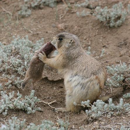 Prairie Dogs' Dark Side Makes Them Thrive
