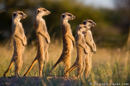 Real Thinkers Look Everywhere Different. That's Why Meerkats Are Meerkats, and Humans, Human.
